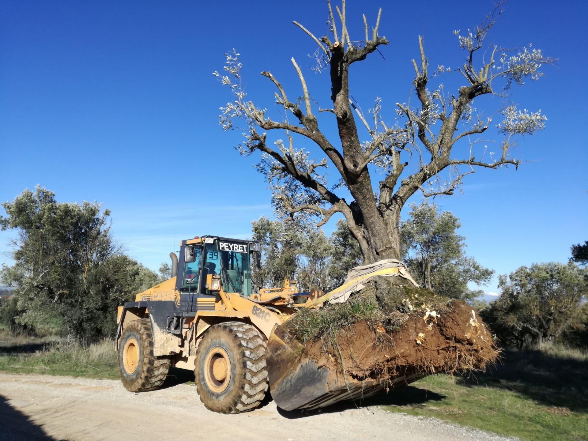 trabajo-especial-plantacion-olivos